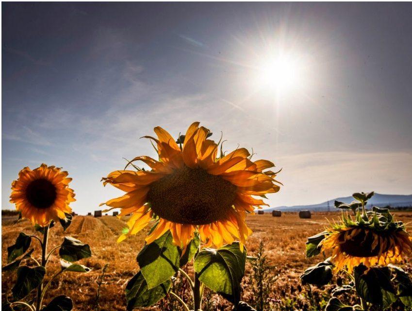 熱浪席捲歐洲,德國法蘭克福艷陽高照,向日葵在烈日下綻放。(美聯社)