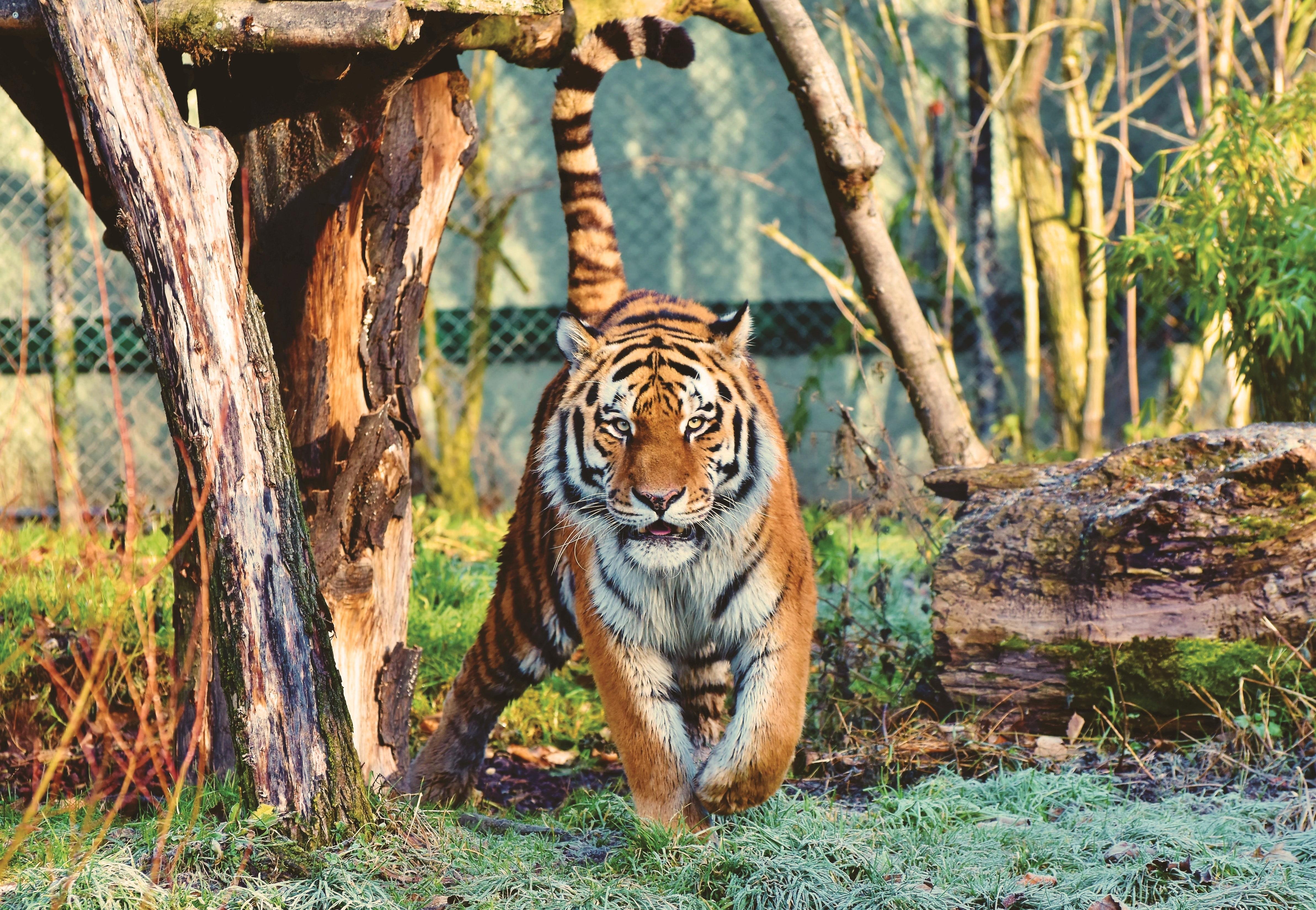 一名男子在夜裡會把自己看成老虎,這可能是一種大腦失調病症。示意圖。(Pexels)