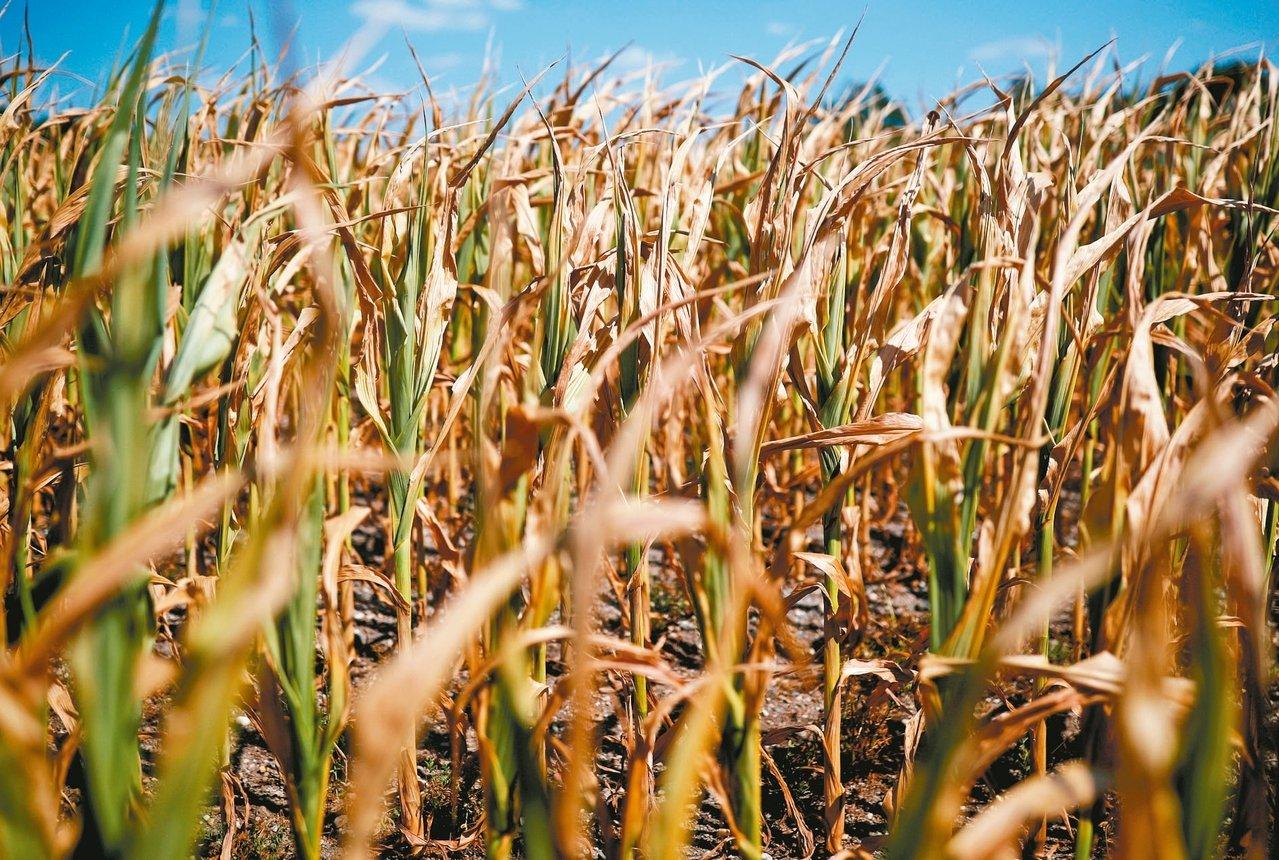 今年以來玉米產地下雨與乾熱交替變化,玉米價格也跟著高低起伏。 路透