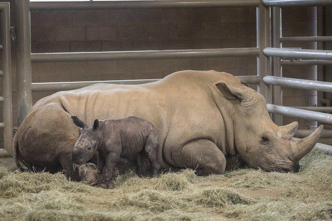 人工授精 南方白犀牛 聖地牙哥狩獵動物園誕生