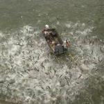 數百條亞洲鯉魚遭「電出水面」!騰空狂跳畫面驚人