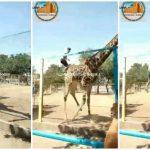 喝茫了?男子逛動物園 竟翻越圍籬騎長頸鹿