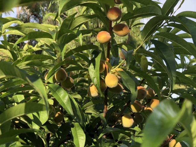 亞市不少華人辛苦栽種的水果卻被一些無良者摘走。(讀者提供)
