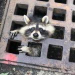 誰來救救我!小浣熊頭卡水溝蓋 消防隊員花2小時救不出