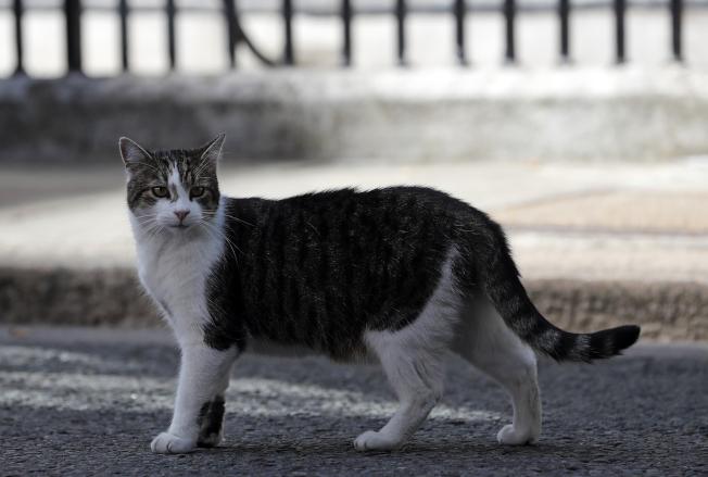 賴瑞貓總是媒體的焦點,即使在新首相上任當天亦然。(美聯社)