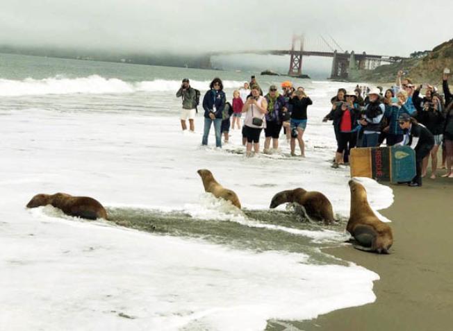 放生活動中,四隻小海獅回到海洋中。(Patrick Truong / 攝影)