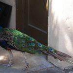 聖荷西網紅孔雀尋求新家 粉絲願收留「南部很多雞表妹」