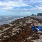 從墨西哥到佛州…馬尾藻攻陷 海灘變色飄腐臭味