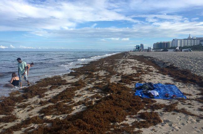 大量馬尾藻讓原本清澈海水變成棕色,而且沖上岸腐爛後,氣味跟臭蛋一樣惡心 ,引起遊客抱怨 ,迫使邁阿密灘當局設法清除。(Getty Images)