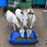 比正妹還吃香 印度網紅是會唱歌母驢