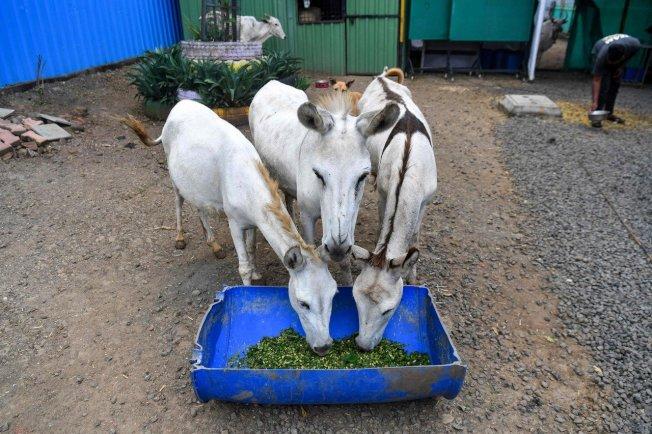 母驢愛蜜莉(圖中)吃飯時間到就嚎叫著奔放旋律,在網路竄紅。(Getty Images)