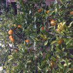 生存競爭中的甜橙樹