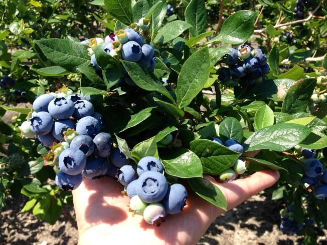 「州果」成「恥辱」 新州藍莓農場違規污染數十年