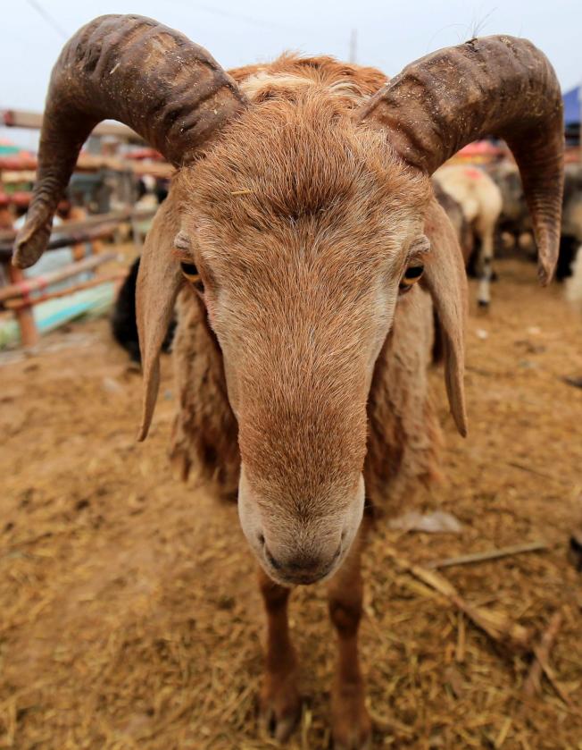 飼養動物無論是飼料還是排放,對氣候和環境影響都很大。(歐新社)
