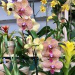 台灣蘭花展 皇后區植物園周末連3天