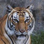 動物園高齡馬來西亞虎 園方迫行安樂死