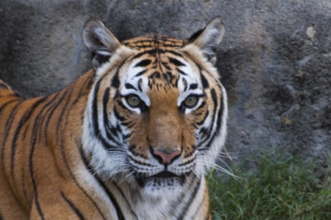 高齡18歲馬來西亞虎沙托29日被安樂死,動物園向外界解釋表明是不得已的決定。(休士頓動物園提供)
