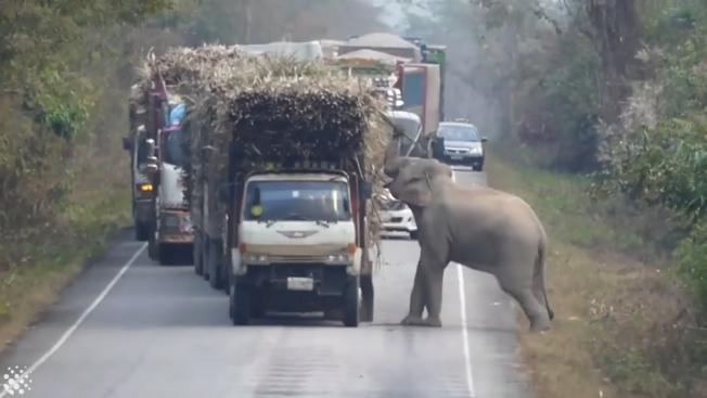 泰國南部北柳府(Chachoengsao)的野生動物保育區,今年1月有一隻大象熟門熟路,在園區內的道路上公然攔車,「搶劫」車上的甘蔗當午餐,過程全被當地政府的野生保育官員給捕捉下來,這段影片近期又再度曝光。圖片擷取YouTube/Newsflare影片