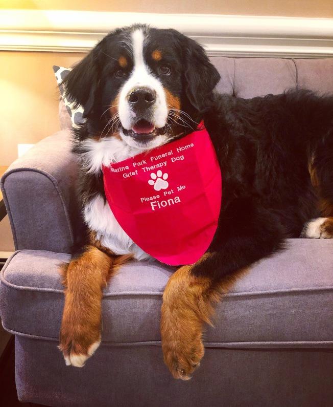 美國養犬俱樂部14日宣布,名為「菲奧娜」的伯恩山犬最近成為其第100萬隻「好公民狗」。(美聯社)
