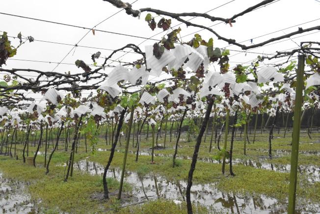今年6月上旬,彰化縣經常出現瞬間下大雨後放晴的天氣,造成露天栽培的巨峰葡萄出現歷年來最嚴重的晚腐病災情。(本報資料照片)