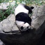 華府熊貓貝貝迎4歲生日  將被送回中國