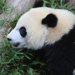 華府「熊貓貝貝」迎4歲生日 慶生後將被送回中國
