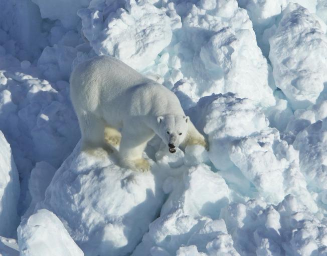 北極熊在阿拉斯加的博福特海(Beaufort Sea)海冰上漫步。(美聯社)