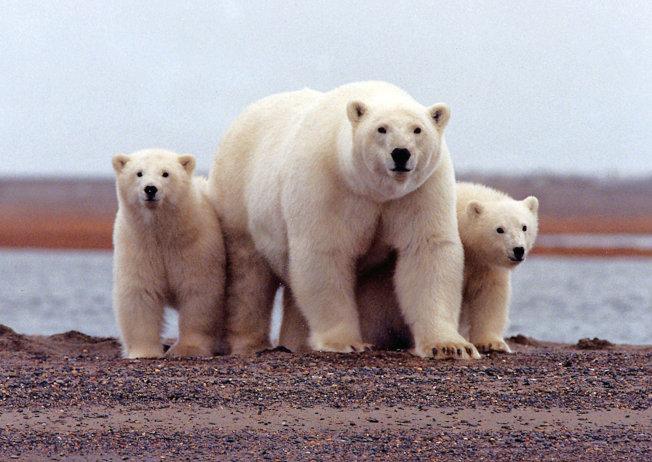 北極熊上岸的時間變多。(路透)