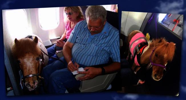 美國運輸部上周公布最新指引,准許身障者能攜帶迷你馬登機。圖/截自Airport Webcams推特