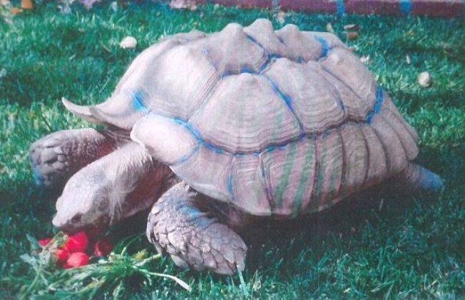 失竊的陸龜為蘇卡達象龜。(警方提供)