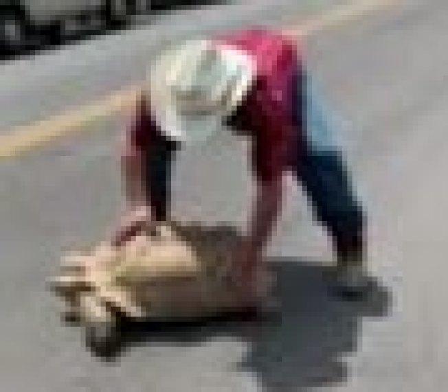一名男子抱走正在過馬路的寵物龜。(警方提供)