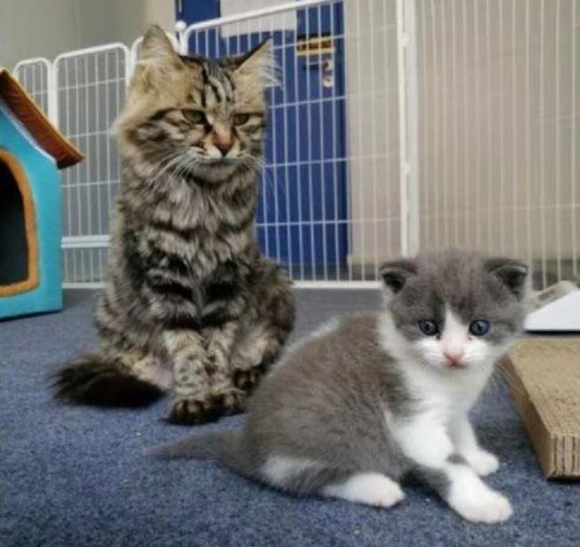 複製貓大蒜(右)和代孕貓媽媽(左)。取材自科技日報
