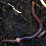 跳蟲入侵伊利諾 快速繁殖破壞土壤
