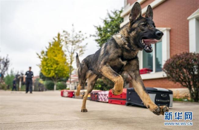 中國第一隻複製警犬「昆勳」,已完成培訓並通過考核正式加入警犬對服役。(取材自新華網)