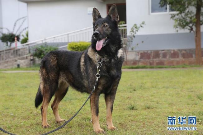 這隻名為「化煌馬」的警犬,因表現優異被中國公安部評為「一級功勳犬」,公安部並已複製出和「化煌馬」DNA 99.9%以上相似的警犬。(取材自新華網)
