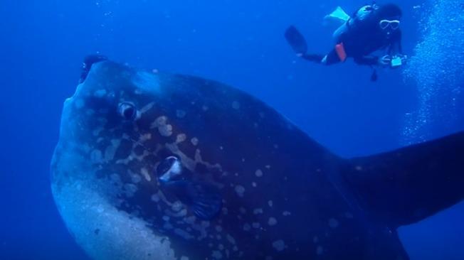 一群資深潛水客在峇里島水晶灣碰巧經過一條巨大翻車魚正上方,從當場拍攝的影像可看到,這條翻車魚之大,讓潛水客身形顯得嬌小。美聯/Credit Caters News/fredventurerphotography