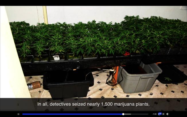 警方收繳非法種植的大麻。(警方視頻截圖)