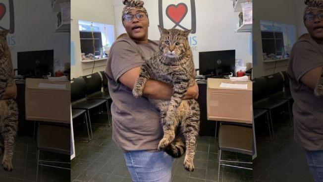 費城巨貓比傑。(收容所提供)
