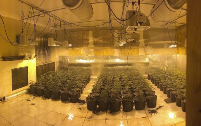 警方在坦密庫拉一幢住宅發現700株左右大麻。(美聯社/河濱縣警局提供)