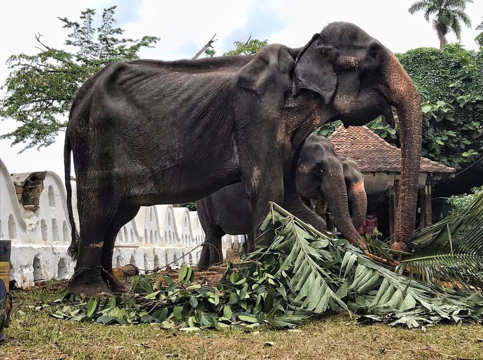 斯里蘭卡一頭高齡70歲母象脫下華麗袍子後,骨瘦如柴的樣貌。 圖/Save Elephant Foundation臉書