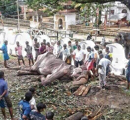 據「拯救大象基金會」15日在臉書最新貼文顯示,骨瘦如柴的母象Tikiiri已不支倒地。 圖/Save Elephant Foundation臉書