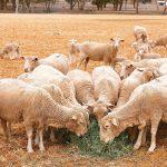 中美貿易戰拖累 澳洲羊毛價跌