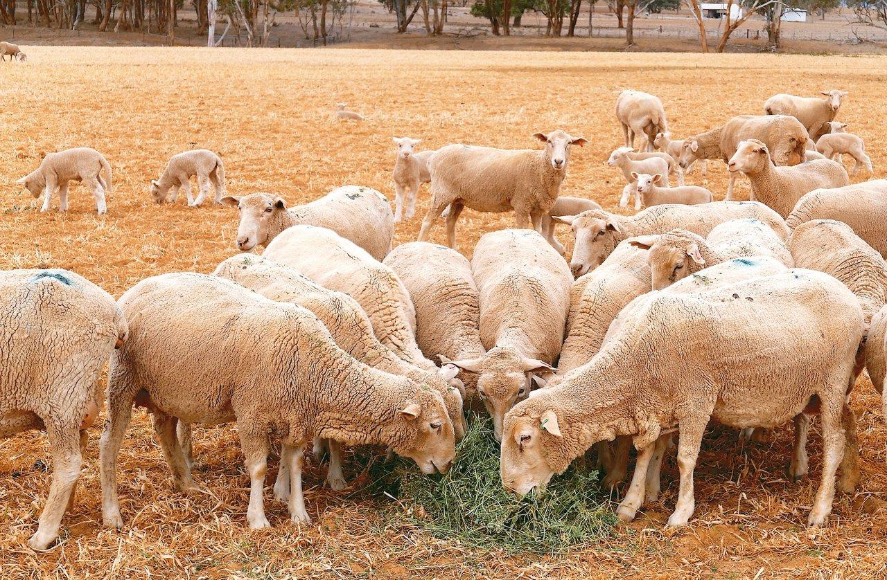 澳洲羊毛業受貿易戰及乾旱衝擊,羊毛產量創新低、價格也下跌。 路透