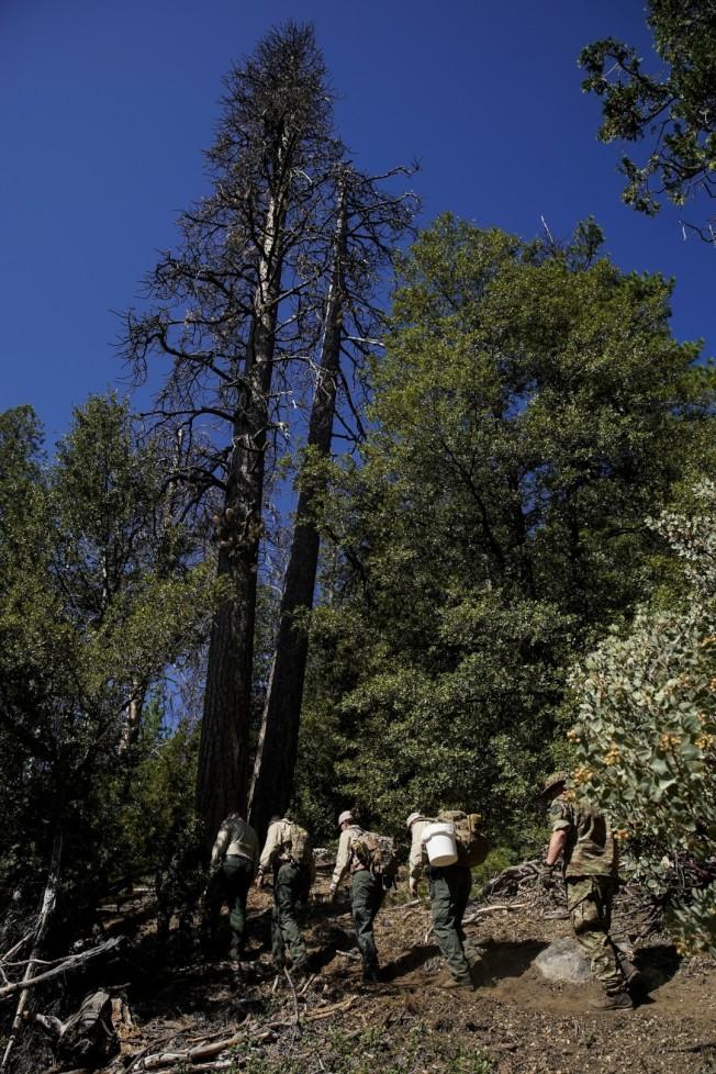 聯邦與加州官員至Sierra National Forest非法種植大麻場。(洛杉磯時報)