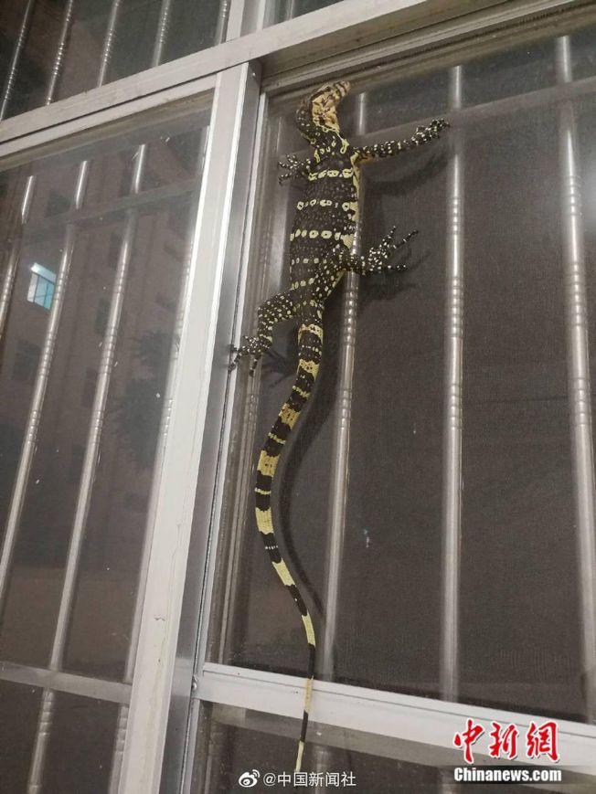 巨蜥爬上咖啡廳窗戶。(取材自中新網)