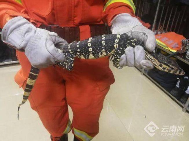 巨蜥遭消防員捕獲。(取材自微博)