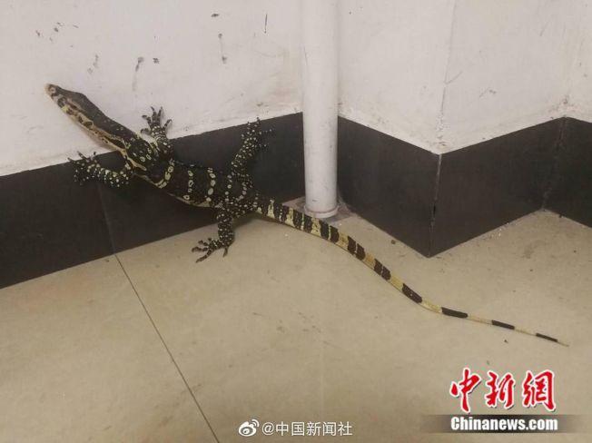 巨蜥闖進咖啡廳。(取材自中新網)