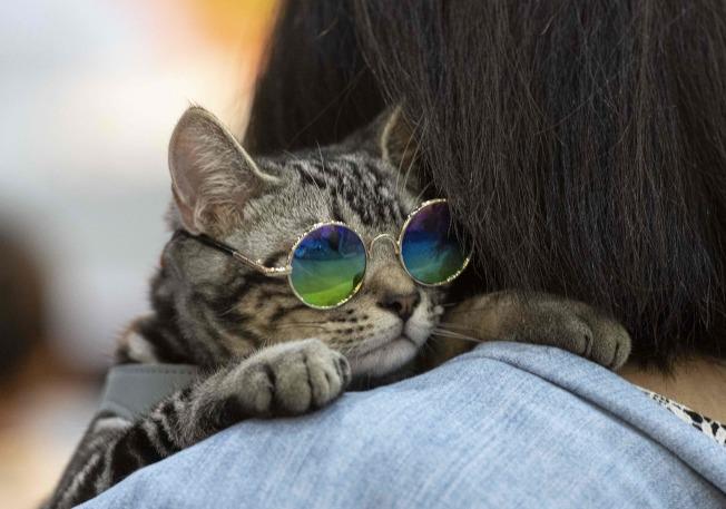 一隻戴眼鏡的貓靠在主人肩膀上。(Getty Images)