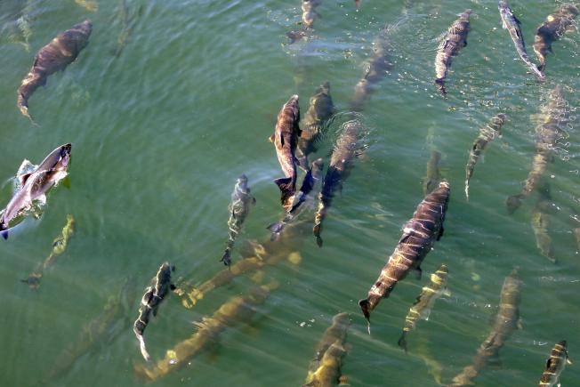 美國西海岸外海再度出現海洋熱浪,擔心可能威脅海洋生物,重創包括鮪魚在內的商業捕撈。(美聯社)