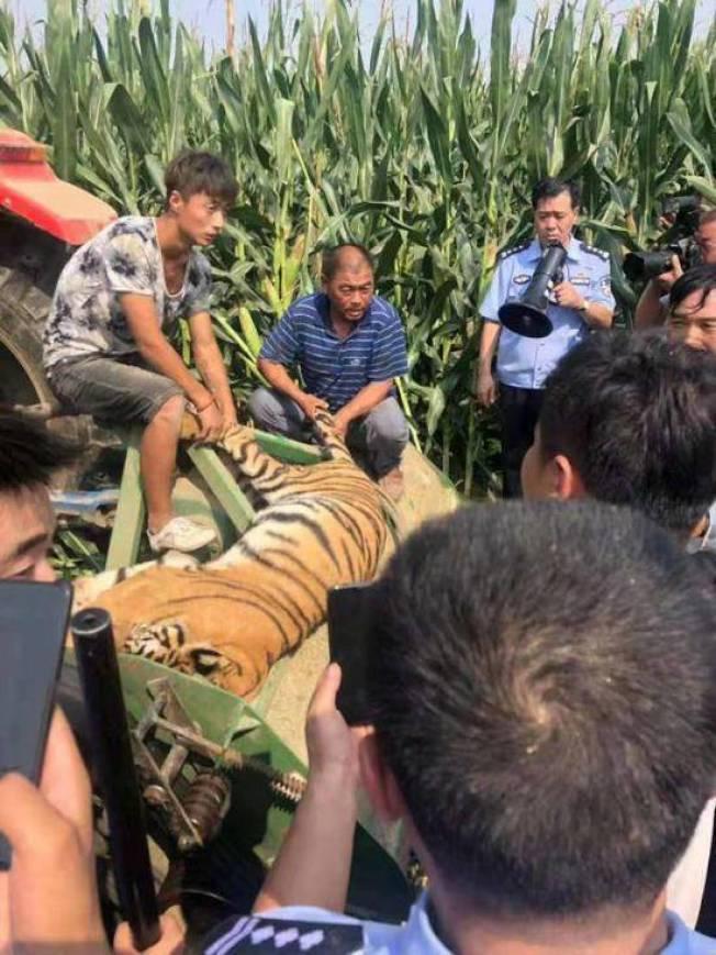 從馬戲團逃脫的老虎,7日已經在玉米田中被捕獲。(取材自人民網)
